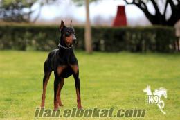 satılık eğitimli köpekler DOBERMAN
