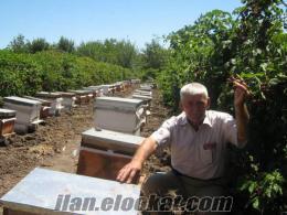 Samsun Bafrada satılık böğürtlen fidanı