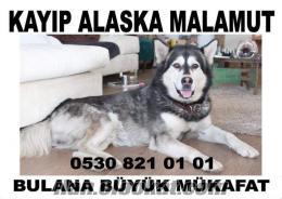Lütfen Antalyada bu Köpeği görürseniz bana ulasın!!!