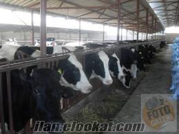 inek burdur gölhisardan satılık