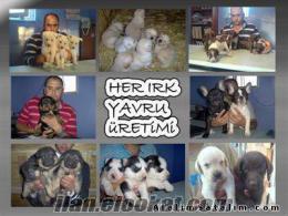 türkiyenin en ucuz en ekonomik fiyatlarına her cins yavru, yetişkin köpekler
