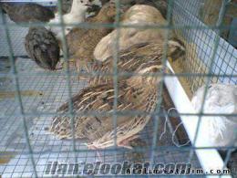 denizlide bıldırcın (yumurtası) üretimi ve satışı yapıır