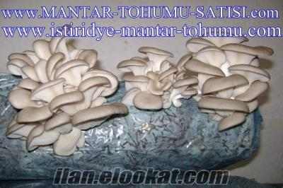 MANTAR TOHUMU SATIŞI