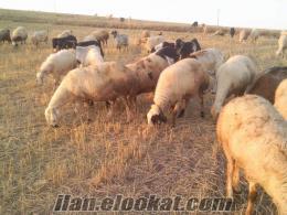 80 tane satılık kangal koyunu