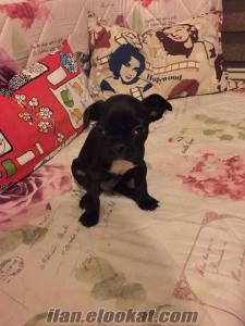 50 günlük erkek siyah french bulldog