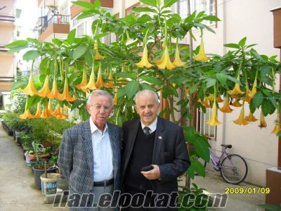 melek boruları brugmansia
