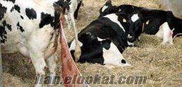 Çifliğimde Yeni Doğum Yapmış Buzalı 35 40 Kg Süt İnekleri Satılık