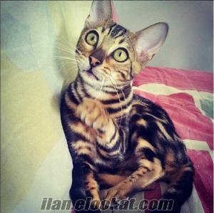 Satılık Yavru Bengal Kedisi / İlanı Okumadan Arama !