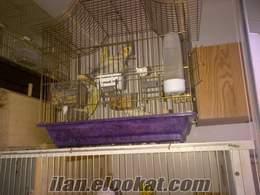 Ankara satılık sultan papağanı çifti
