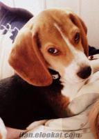 satılık elizabeth beagle