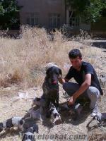 av köpeği Kurzhaar yavruları avköpeği