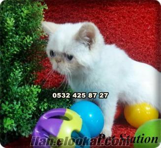 satılık exotic shorthair yavruları