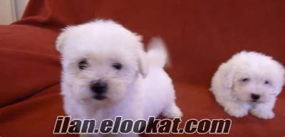 Sıfır numara maltese terrier