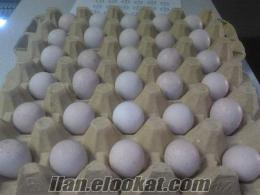Kuluçkalık Döllü Kınalı Keklik Yumurtası
