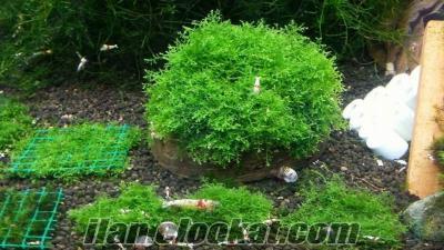 java moss ( Taban zemin) bitkisi - UYGUN FİYAT