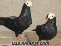 bango güvercin güzeltaklacı