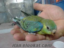 üreticiden sevda papağanı yavruları