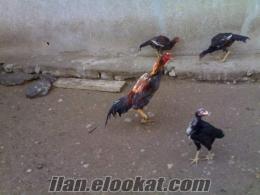 kayseride satılık şamo ve hint karışımı tdamızlık tavuklar