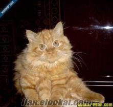 erkek tekir iran kırması sarman kedim çiftleşme için eş arıyor iftlemek