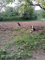 Samsun Karşıyakada av köpekleri