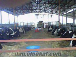 osmaniyede sahibinden satılık inek, gebe düe ve dana