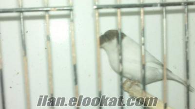 Gloster Kanarya siyah beyaz dişi