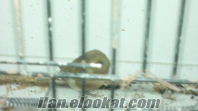 Gloster kanarya kula dişi