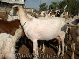 maltız keçi hayrabolu çene köyünde satılık