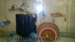 samsun üretimhaneden koloni ciklet balıkları