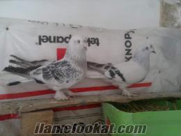 eskişehir satılık güvercin
