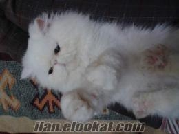 ıspartadan satılık saf iran kedisi