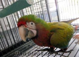 Amerika papağanı papağan bebekler yeni evlerine için hazırdır.