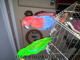 Satılık Eş ECLECTUS Papaganları