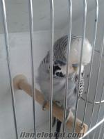 Adanadan Şov JUMBO muhabbet kuşları