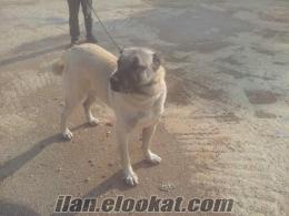 izmir bornovada satılık SAF Kangal yavruları satılıktır