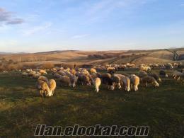 sahibinden satılık küçük baş koyun ve kuzu