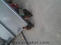 Adana Seyhanda satılık süs tavukları