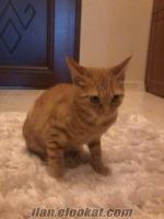 Ücretsiz Kedi isteyenler