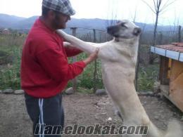 ahibinden satılık 10 aylık kangal
