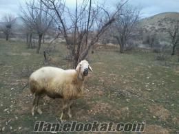 malatyada satılık kuzulu kangal koyunu