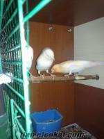 acil 5 kanarya 1 çift hane kafes