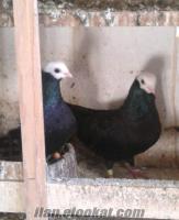 akbaşbaska güvercinlerim satılıktır