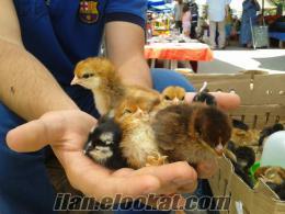 Sakaryada Toptan Prakende Satılık Hindi Ördek Bıldırcın Civciv Tavşan
