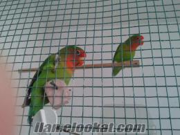 satılık sevda papağanı bursa