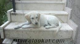 ıspartadan satılık 4 aylık golden retriever(dişi)
