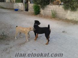 Adana Yumurtalıkda rottweiler