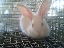 ıspartada satılık yeni zelanda ve kalifornia tavşanı
