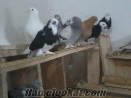 Şereflikoçhisarda harika güvercinler.
