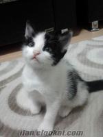 bursada sahiplendirilecek ücretsiz yavru tekir kediler