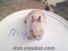 Satılık 2 Aylık Cüce Tavşan Yavruları 3 Adet